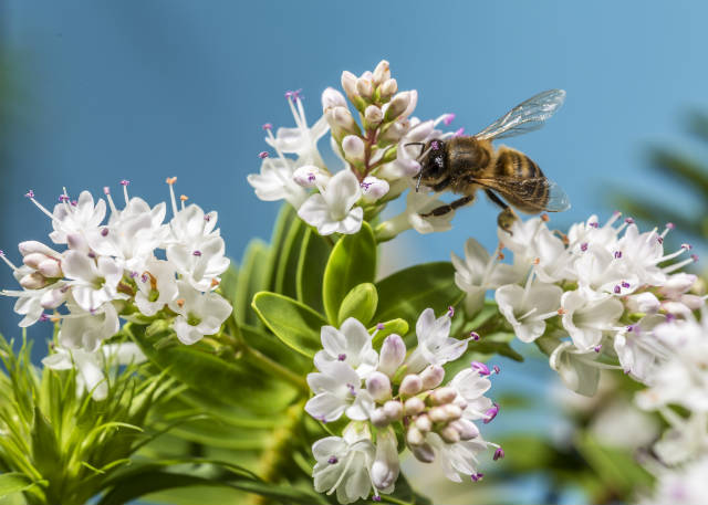 Tribunal da União Europeia restringe uso de inseticidas nocivos às abelhas