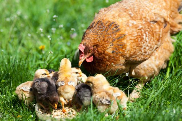 Galinhas caipiras geram renda para agricultores familiares