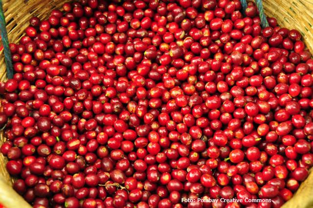 Recomendações para uma boa colheita de café