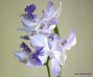 Espécies de orquídea - Acacallis cyanea Lindl