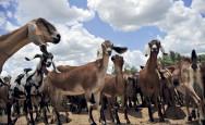 Aprenda Fácil Editora: Cabras leiteiras: conheçam as características da raça Anglo-Nubiana