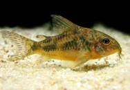 Peixes de água doce do Brasil - Limpa-Fundo (Corydoras paleatus)
