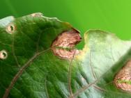Doenças do maracujá - controle do Damping Off, Antracnose, Verrugose, Septoriose e Alternariose
