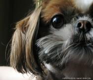 Raças de cachorro - Shih Tzu