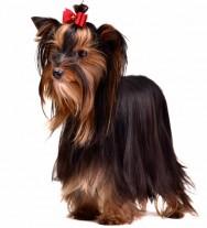Raças de cachorro - Yorkshire Terrier