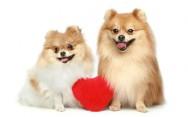 Raças de cachorro - Spitz Alemão ou Lulu da Pomerânia