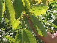 Doenças da Seringueira - Mal-das-Folhas da Seringueira