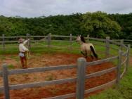 Doma natural de cavalos - rodando o equino no redondel com cabresto ou guia