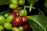 Sistema orgânico de plantio de café minimiza os problemas de sustentabilidade do setor