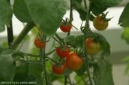 Tomate hidropônico - o ambiente protegido e controlado