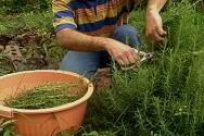 Extrativismo de plantas medicinais