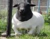Dorper, ovinos que podem ser abatidos aos 100 dias de idade