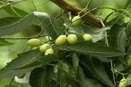 Nim - principais subprodutos das sementes e das folhas