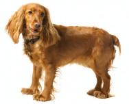Raças de cachorro - Cocker Spaniel Inglês