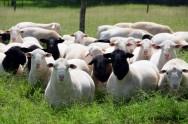Cordeiros - uma boa alimentação tem forte influência no crescimento e desenvolvimento animal