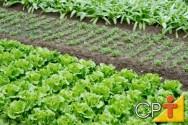 Como plantar alface - Lactuca sativa