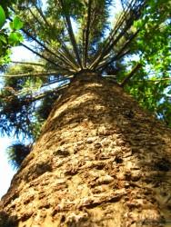 Biomas do Brasil - Mata dos Pinhais ou Mata de Araucárias