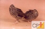 As fêmeas da codorna tem a parte peitoral mais branca e apresenta pintinhas pretas, tipo carijó.