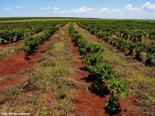 Café orgânico - a produtividade da lavoura depende dos conhecimentos sobre o sistema de plantio