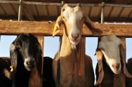 Como fazer o manejo da cabra gestante