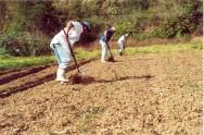 Inhame org�nico - tratos culturais, controle de pregas e doen�as, e colheita