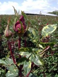 Aprenda Fácil Editora: Produção de rosas: conheça algumas doenças que podem atacar as roseiras