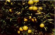 Cultivo org�nico de citros - dicas importantes para a colheita