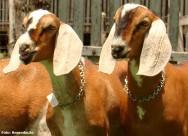 Caprinos da raça Anglo Nubiana são excelentes na produção de leite e carne
