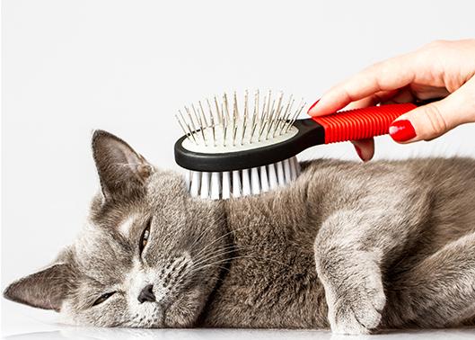 Ao se lamber, o gato ingere muitos pelos soltos, formando as indesejadas bolas de pelo.