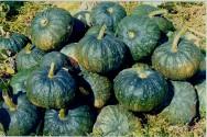 Agricultura org�nica: como cultivar a nutritiva ab�bora