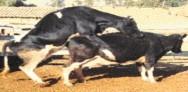 Quando entram no cio, as vacas ficam agitadas e nervosas, e tentam montar em fêmeas que estão na mesma situação.