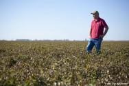 Produ��o de Amendoim - contamina��o por Aflatoxina pode intoxicar homens e animais