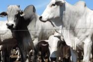 Castração dos bovinos - por que deve ser feita e quais as principais técnicas