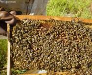 No hay que dejar una colmena pone demasiado poblada de ampliar posteriormente su espacio, ya que para empezar a preparar a pulular es muy difícil de parar las abejas extintos