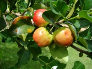 Produ��o de acerola - tipos de irriga��o e de aduba��o
