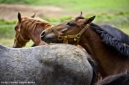 Reprodução de cavalos - como detectar éguas no cio