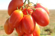 Ind�strias de processamento exigem tomates livres de pragas e doen�as