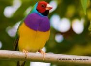 Diamante-de-Gould: ave exótica, de plumagem bela e exuberante