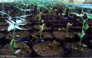 Nim - sistema de propaga��o das mudas, plantio e manejo da cultura