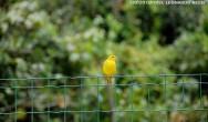 Canário-da-terra: habitat, reprodução, alimentação, instalações, torneios e principais doenças