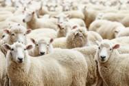 Melhoramento genético de ovinos: ganho de peso, sanidade, desempenho reprodutivo e qualidade da carcaça