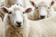 Como definir os objetivos do programa de melhoramento genético em ovinos