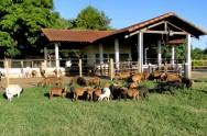 Gerenciamento sanitário de ovinos: manejo, programa sanitário e diagnóstico de doenças