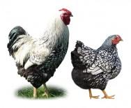 A galinha dom�stica e suas principais ra�as comerciais