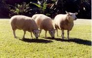 Por que eliminar do rebanho os ovinos inferiores?