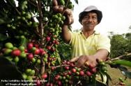 Implante um correto sistema de irrigação no cafezal e salve sua lavoura