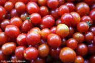 Tomate produzido especialmente para a ind�stria movimenta o campo