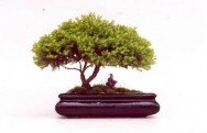 Aprenda F�cil Editora: A educa��o na arte do Bonsai