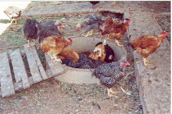 galinhas ciscando no ciscódromo