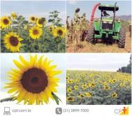 10 vantagens do cultivo de girassol